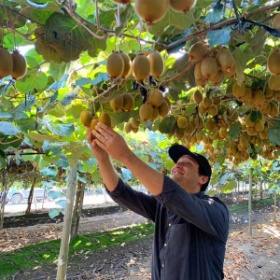 Via alla raccolta dei kiwi Sweeki in Cil...